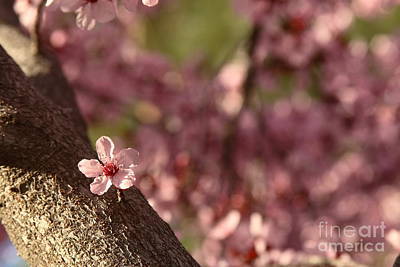 Photograph - Solo In The Blossom Chorus by Jennifer Apffel