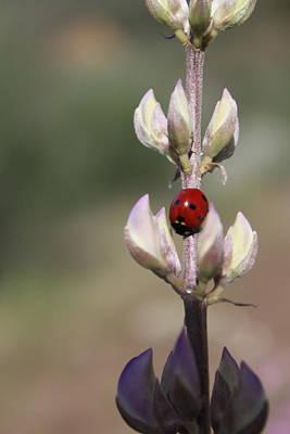 Solo Ladybug Art Print by Ashley Balkan