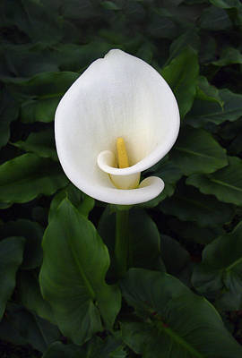 Photograph - Solo White Lily by Paul Clinkunbroomer