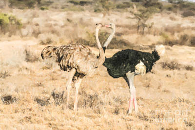 Animals Digital Art - Somali Ostriches Kissing by Liz Leyden