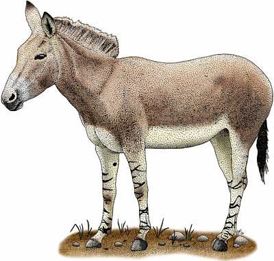 Photograph - Somali Wild Donkey by Roger Hall