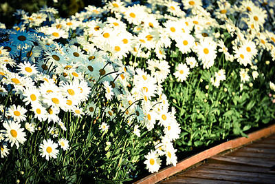 Photograph - Some Daisies II by Ronda Broatch