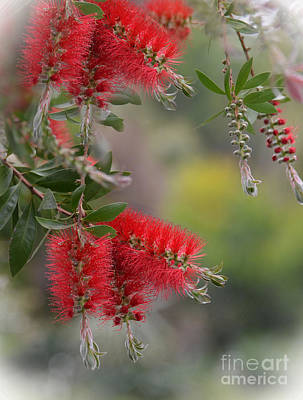 Photograph - Bottlebrush Blossoms Some Of The Beautiful Colors Of Spring by Jim Fitzpatrick