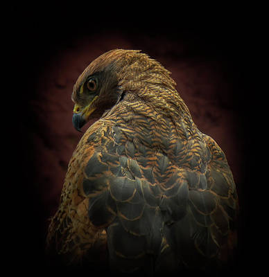 Dark Wall Art - Photograph - Somebody Watch Me-savanna Hawk by Ferdinando Valverde