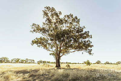 Gumtree Photograph - Someday I'll Be Tall by Linda Lees