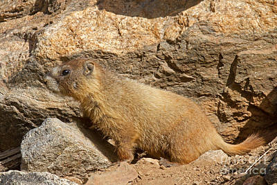 Photograph - Something Is Interesting To The Yellow Bellied Marmot Rocky Mountain National Park by Fred Stearns