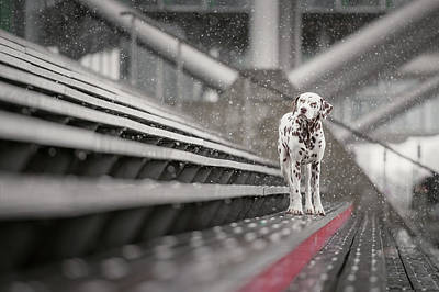 Dalmatian Wall Art - Photograph - Sometimes It Snows In April... by Heike Willers