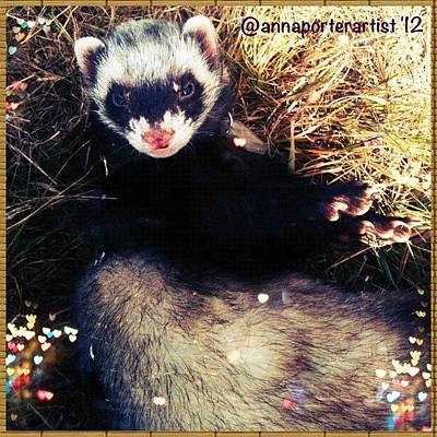 Apple Wall Art - Photograph - Sometimes We Like To Roll In The Straw #ferrets #pets by Anna Porter