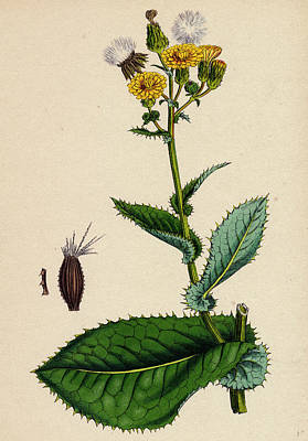 Thistle Drawing - Sonchus Asper Rough Sow-thistle Form With Undivided Leaves by English School
