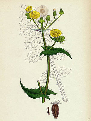 Thistle Drawing - Sonchus Oleraceus Smooth Sow-thistle by English School
