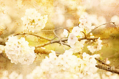Photograph - Song Of Spring IIi - White Cherry Blossoms by Beverly Claire Kaiya