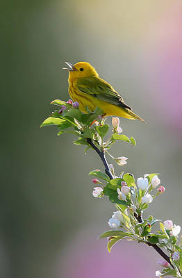 Warbler Photograph - Song Of Spring by Rob Blair