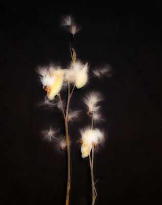 Weed Digital Art - Song Of The Milkweed by Gothicrow Images
