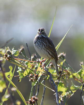 Photograph - Song Sparrow 1 by Sheri McLeroy