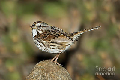 Song Sparrow Art Print by Anthony Mercieca
