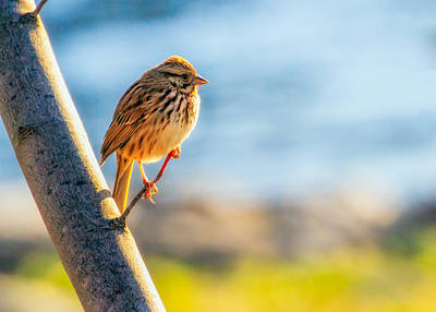 Birds Rights Managed Images - Song Sparrow Royalty-Free Image by Bob Orsillo