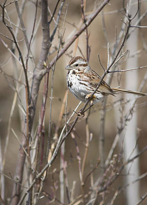 Photograph - Song Sparrow by Dale Kincaid