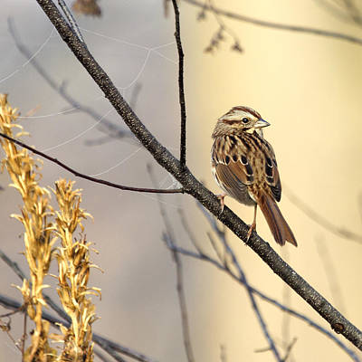 Photograph - Song Sparrow Delight 2 by David Lester