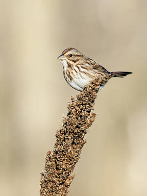 Photograph - Song Sparrow Delight by David Lester