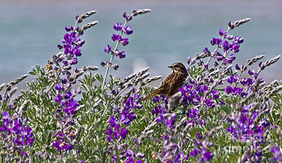 Photograph - Song Sparrow In Lupine by Kate Brown