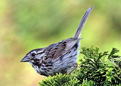 Photograph - Song Sparrow by Janice Drew