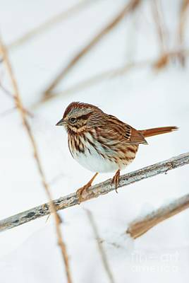 Animals Photos - Song Sparrow by John Harmon