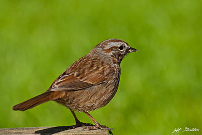 Song Sparrow On A Log Art Print by Jeff Goulden