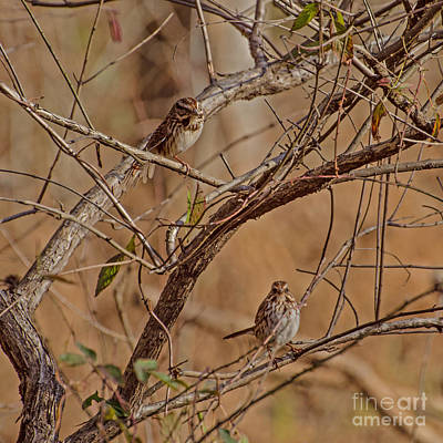 Photograph - Song Sparrows by Donna Brown