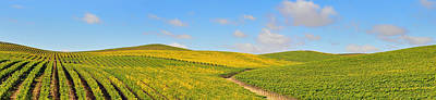 Sonoma County Vineyard Panorama Print by Michael  Ayers