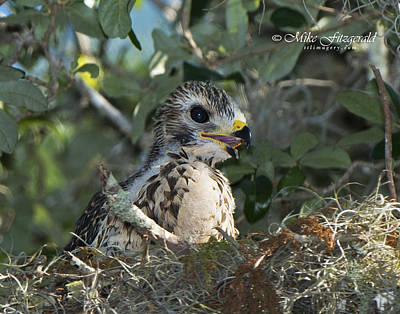 Photograph - Soon To Fledge by Mike Fitzgerald
