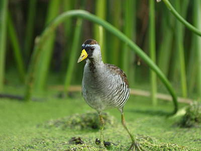 Peterson Nature Photograph - Sora Motion Portrait by James Peterson