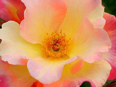 Sorbet Rose Petals Art Print