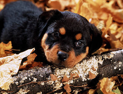 Rottweiler Wall Art - Photograph - Sorrowful Rottweiler Puppy Lying by Vintage Images