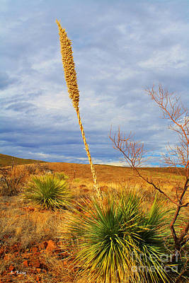 Photograph - Sotol Plant by Roena King