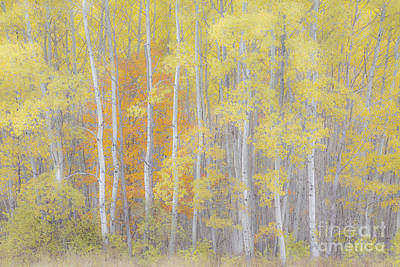 Photograph - Soulful Birch Woods by Alan L Graham