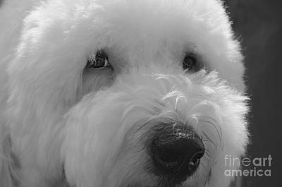 Photograph - Soulful Eye's Old English Sheep Dog by Peggy Franz