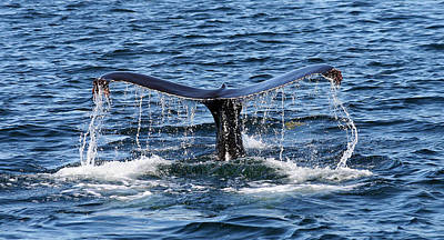 Photograph - Sounding Humpback by Ginny Barklow