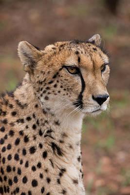 Cheetah Photograph - South Africa, Pretoria, Ann Van Dyk by Cindy Miller Hopkins