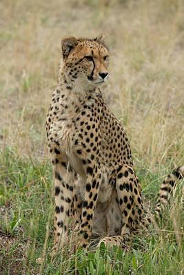 Cheetah Photograph - South Africa, Pretoria, De Wild by Cindy Miller Hopkins