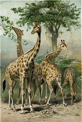 South African Giraffes Art Print by South African School