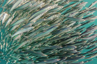 South African Sardine (sardinops Sagax Art Print by Pete Oxford
