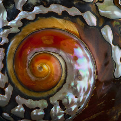 Iridescent Photograph - South African Turban Shell by Carol Leigh