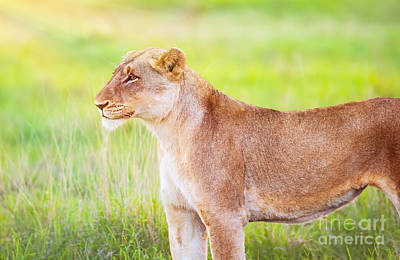 Photograph - South African Wild Lioness by Anna Om