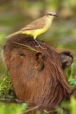 Swampland Photograph - South America, Brazil, Pantanal, Cattle by Joe and Mary Ann Mcdonald