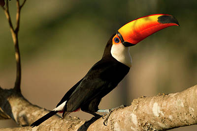 Toucan Photograph - South America, Brazil, Pantanal, Mato by Joe and Mary Ann Mcdonald