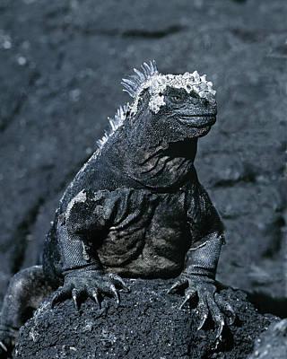 Marine Iguana Photograph - South America, Ecuador, Galapagos by Jaynes Gallery