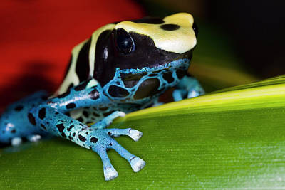 Dart Frogs Photograph - South America, Republic Of Surinam by Jaynes Gallery