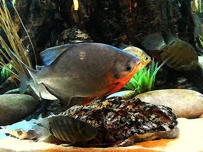 Piranha Painting - South American Cichlids by Shere Crossman