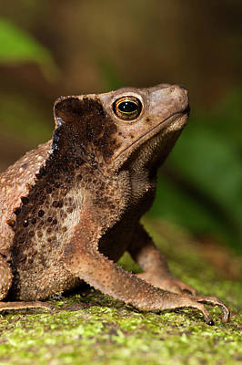 Forest Floor Photograph - South American Crested Toad (rhinella by Pete Oxford