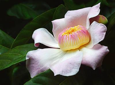 South American Gustavia Flower Art Print